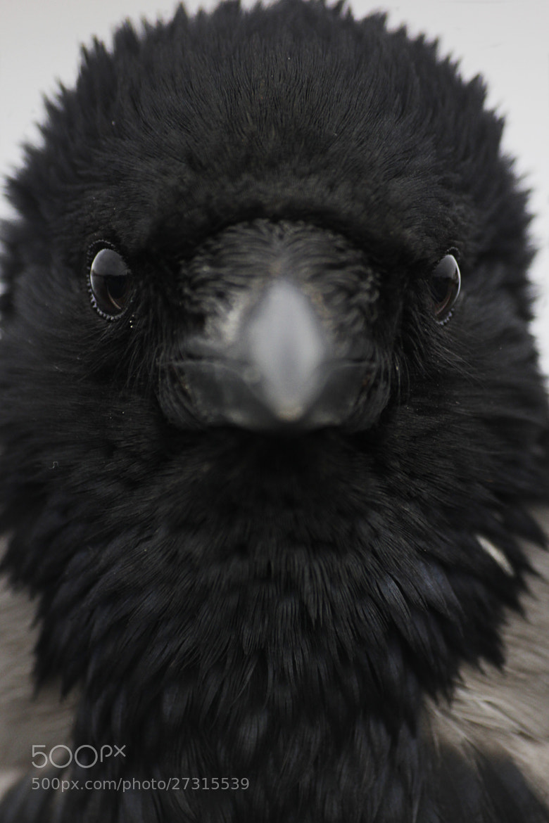 Photograph Angry Crow by Seren Özgür on 500px