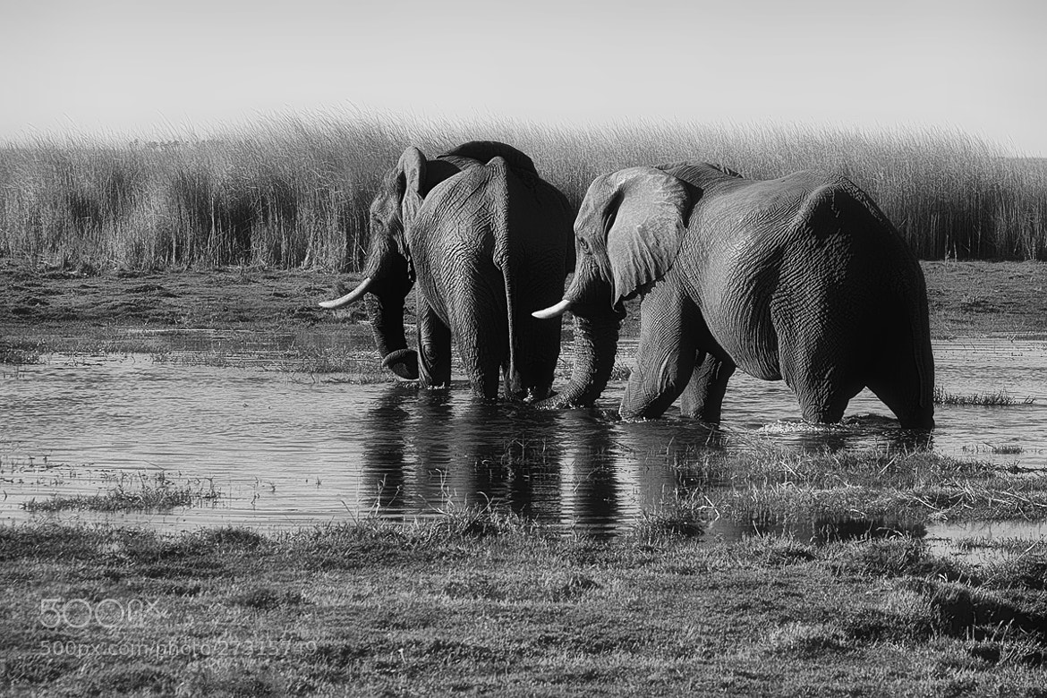 Photograph Elephant Crossing by Sharon Smith on 500px