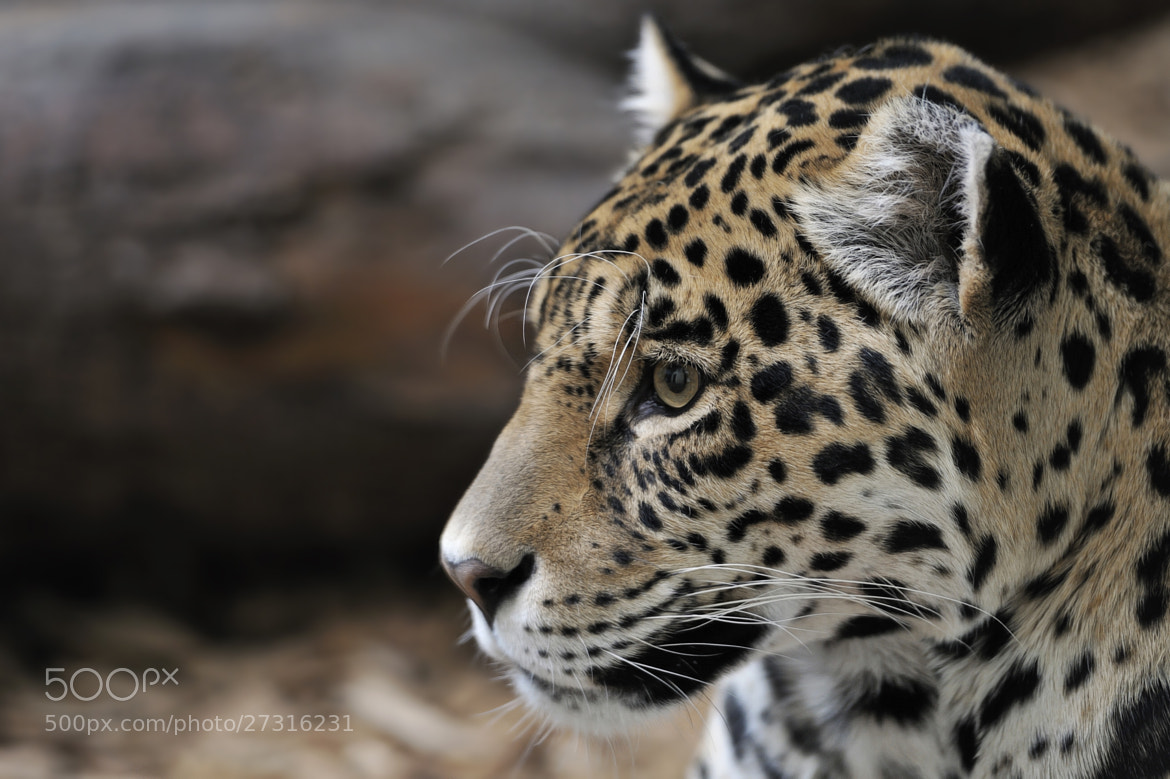 Photograph Jaguar Portrait by Josef Gelernter on 500px