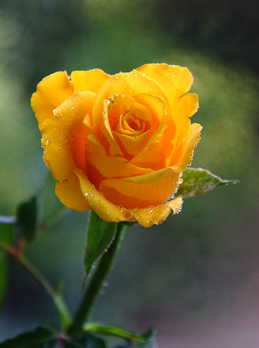Photograph The Yellow Rose by Ceri Jones on 500px