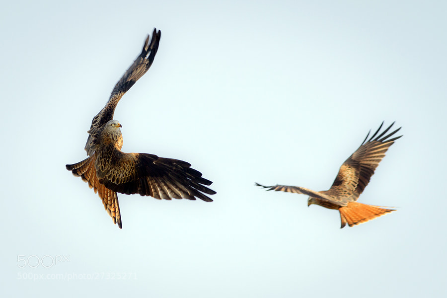 Red Kites by Steve Burnett (Dead_Yankee)) on 500px.com