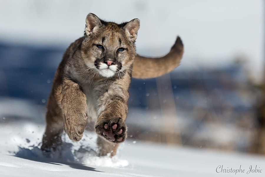 500px.comのChristophe JOBICさんによるYoung mountain lion playing in the snow