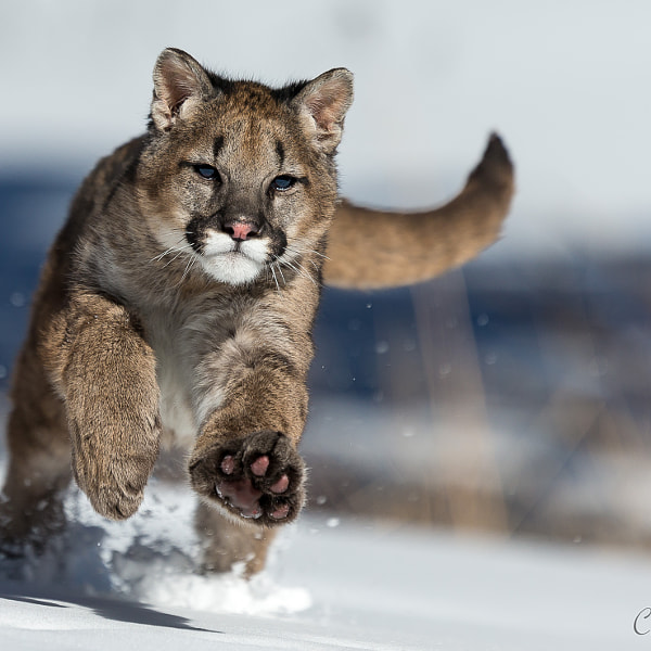 Young mountain lion playing in the snow
