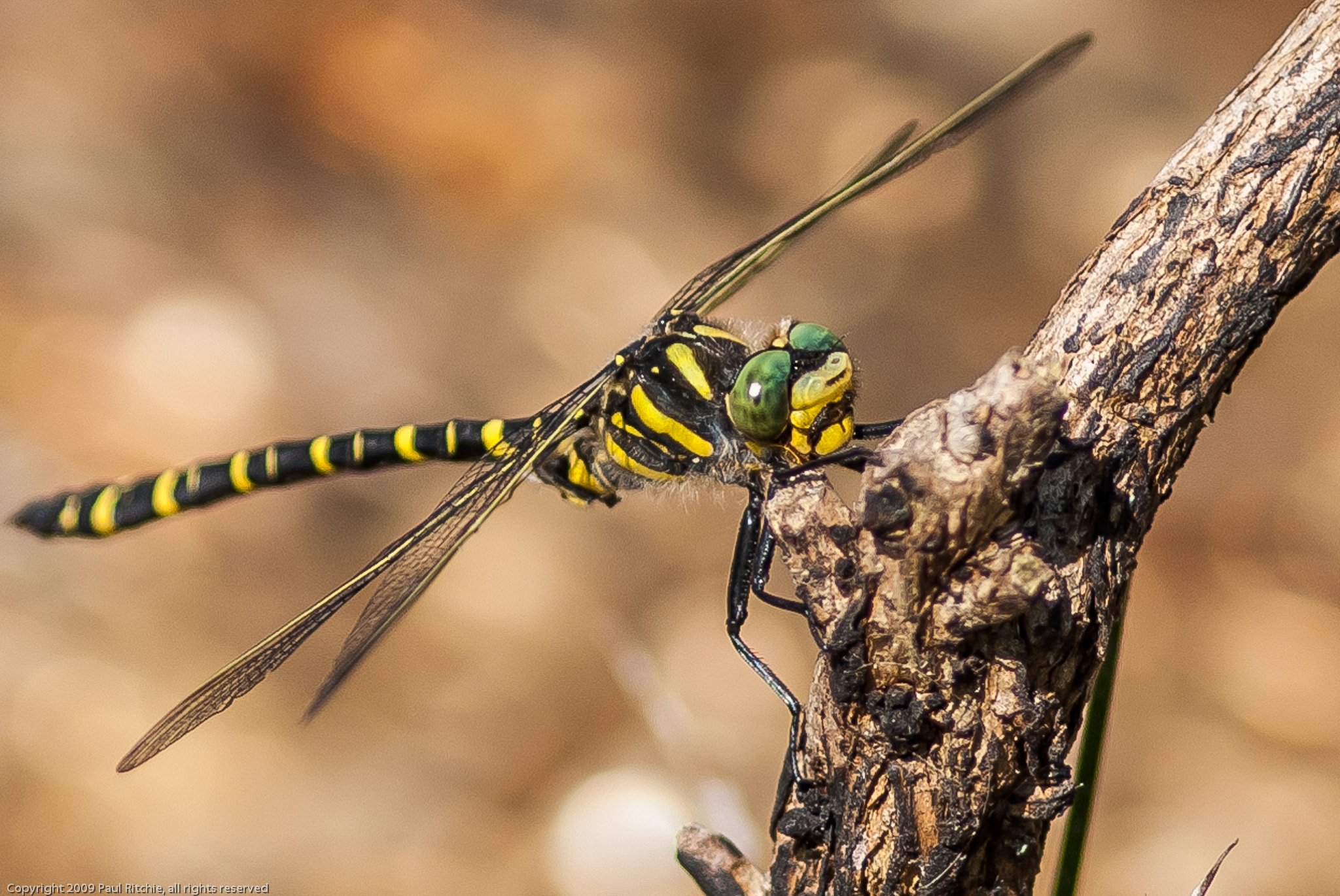 Photograph Golden-ringed Dragonfly by Paul Ritchie on 500px