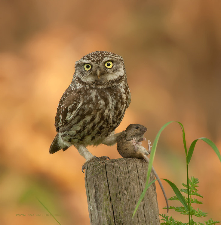 Photograph Little Owl with mouse by Henny Egdom van on 500px