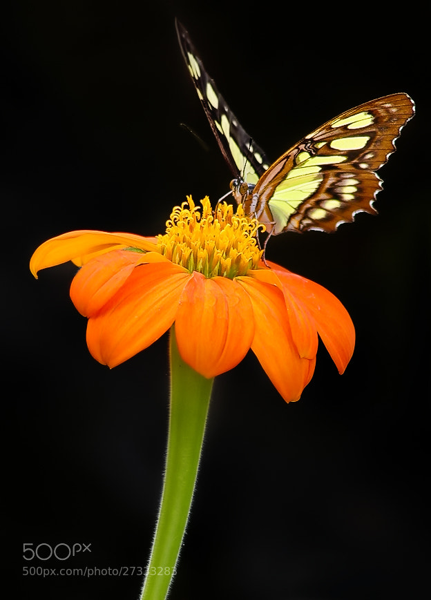 Photograph Orange Nectar  by Sharon Smith on 500px