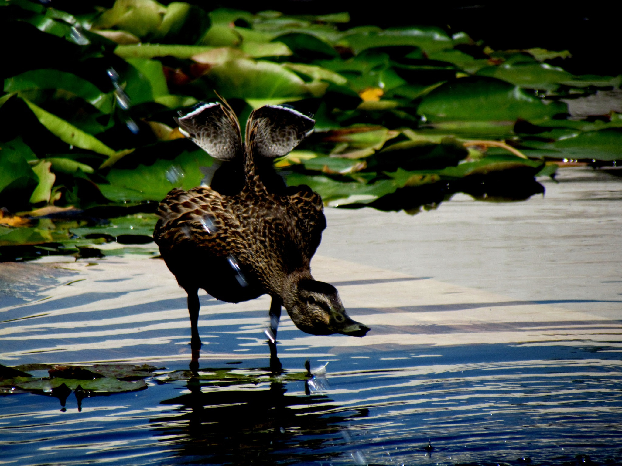 Photograph Duck by Laura Treglia on 500px