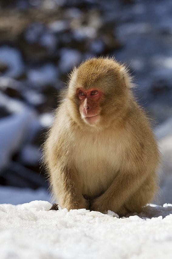 Photograph Snow Monkey by Peter Edge on 500px