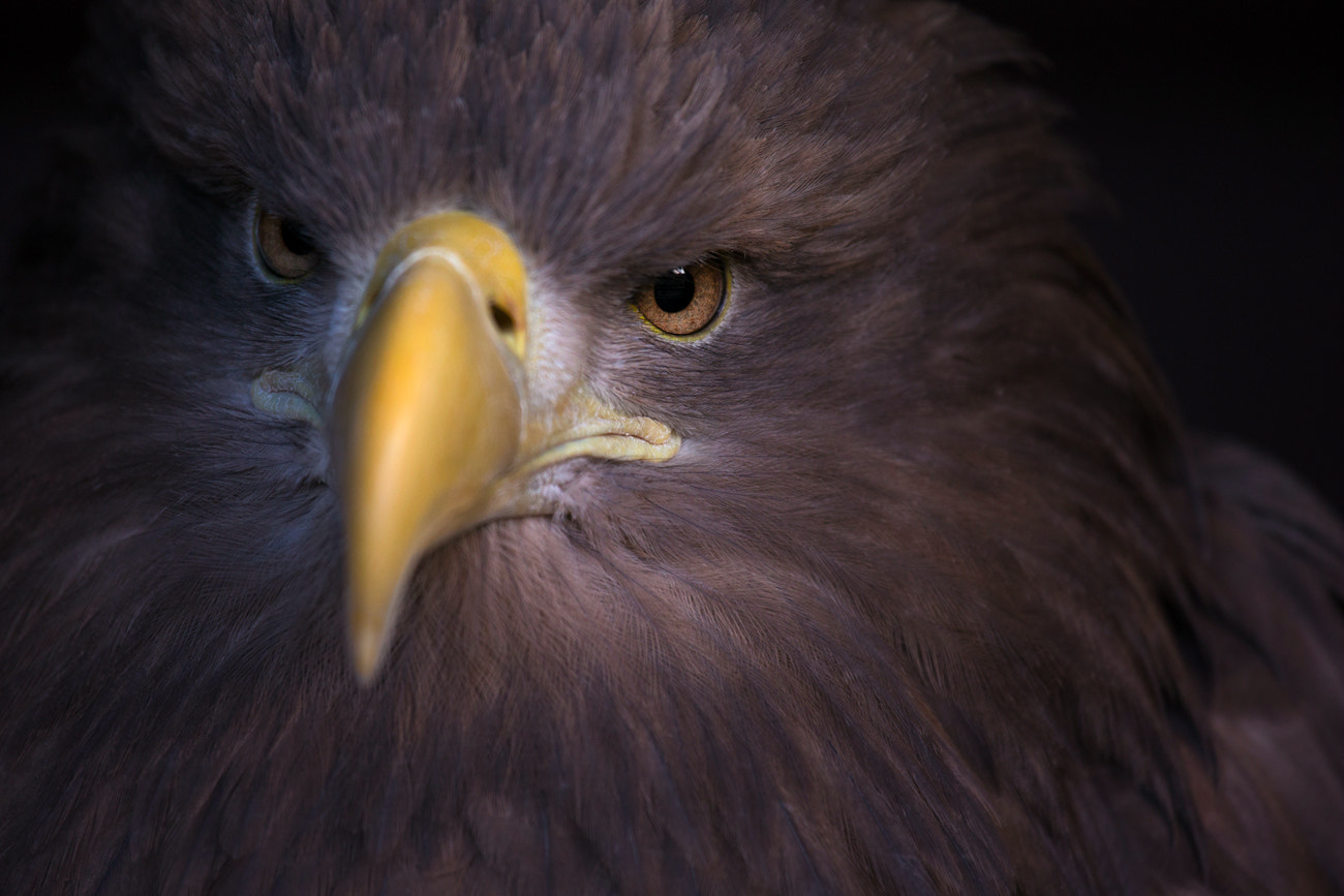 Photograph White Tailed Sea Eagle by Billy Currie on 500px