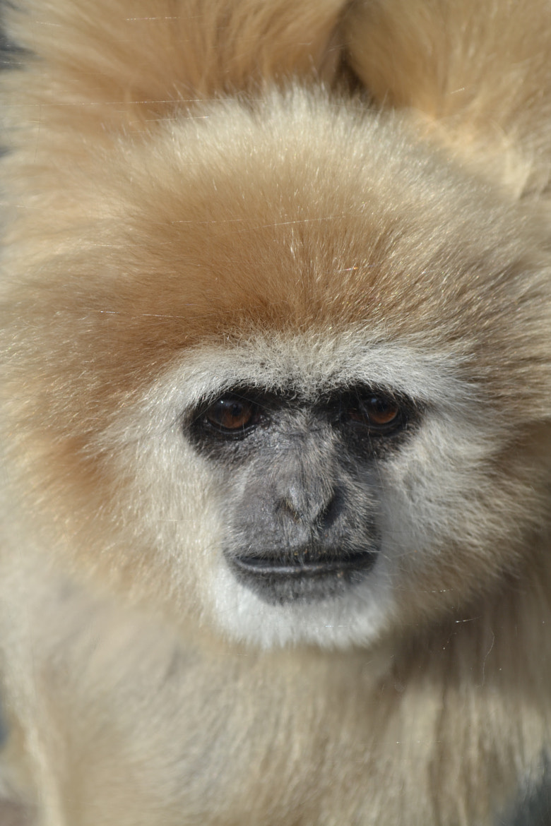 Photograph The lonely gibbon by Jaccy Gascoyne on 500px