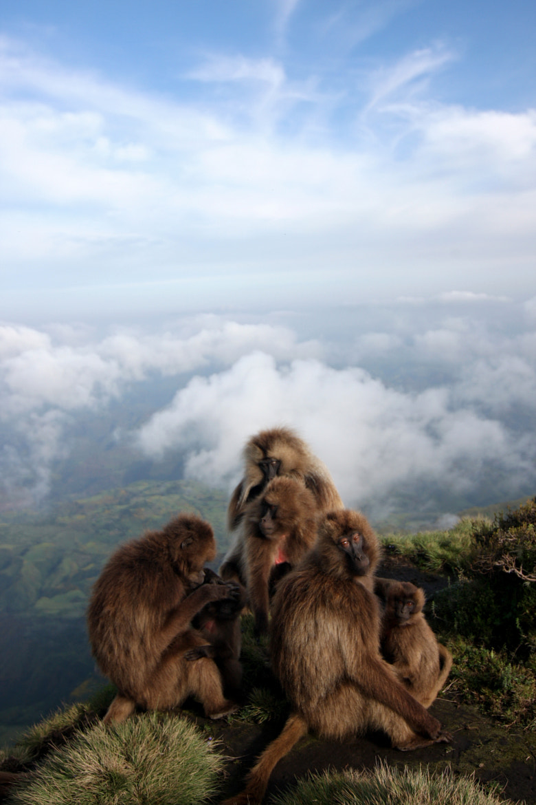 Photograph Gelada Family Unit by Clay Wilton on 500px