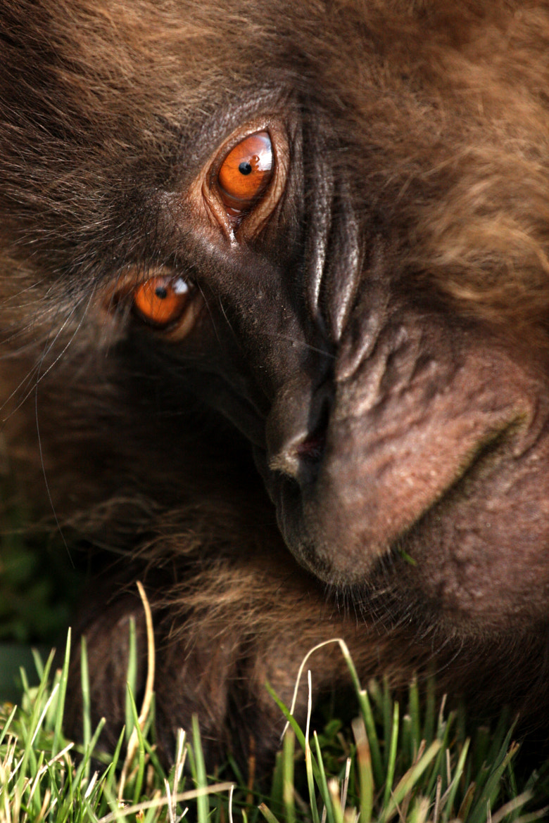 Photograph Gelada Closeup by Clay Wilton on 500px