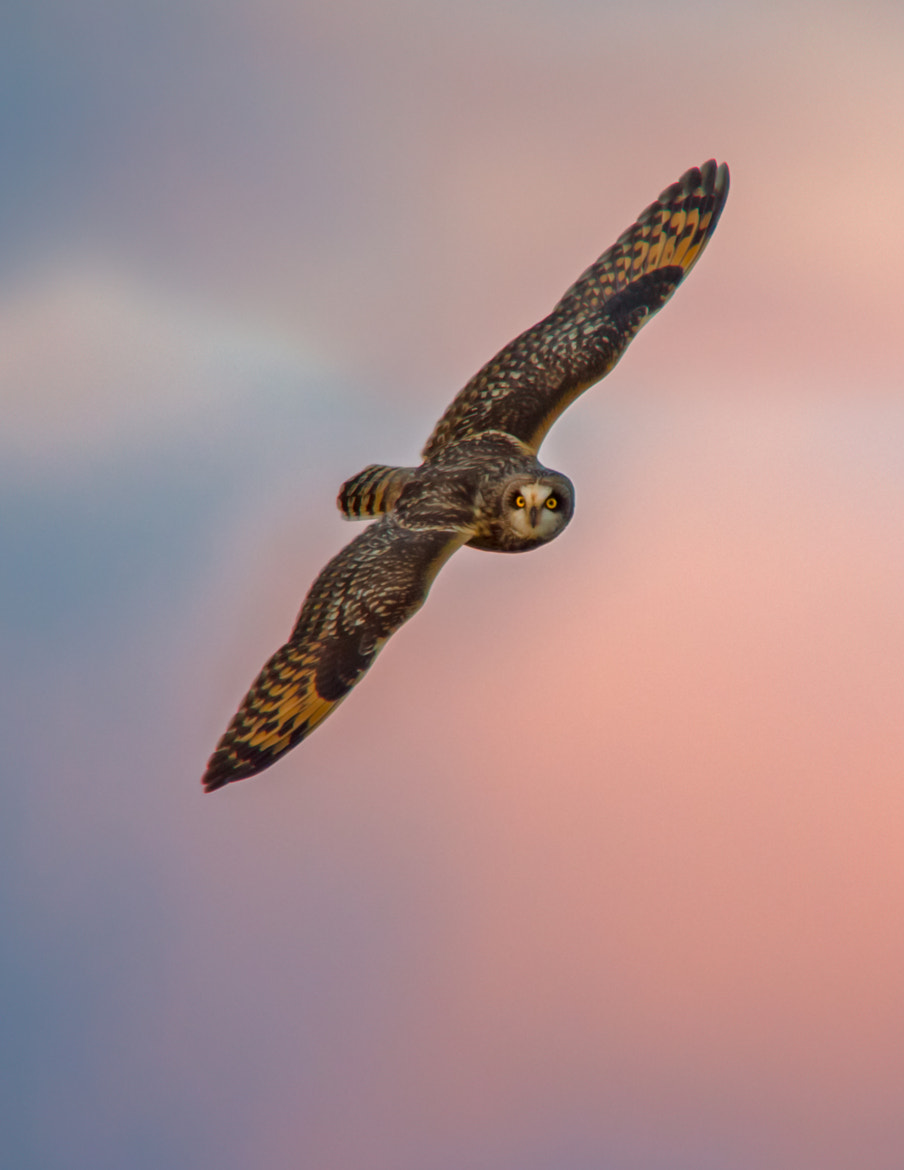 Photograph Short Eared Owl @ Sunset by Steven Kersting on 500px