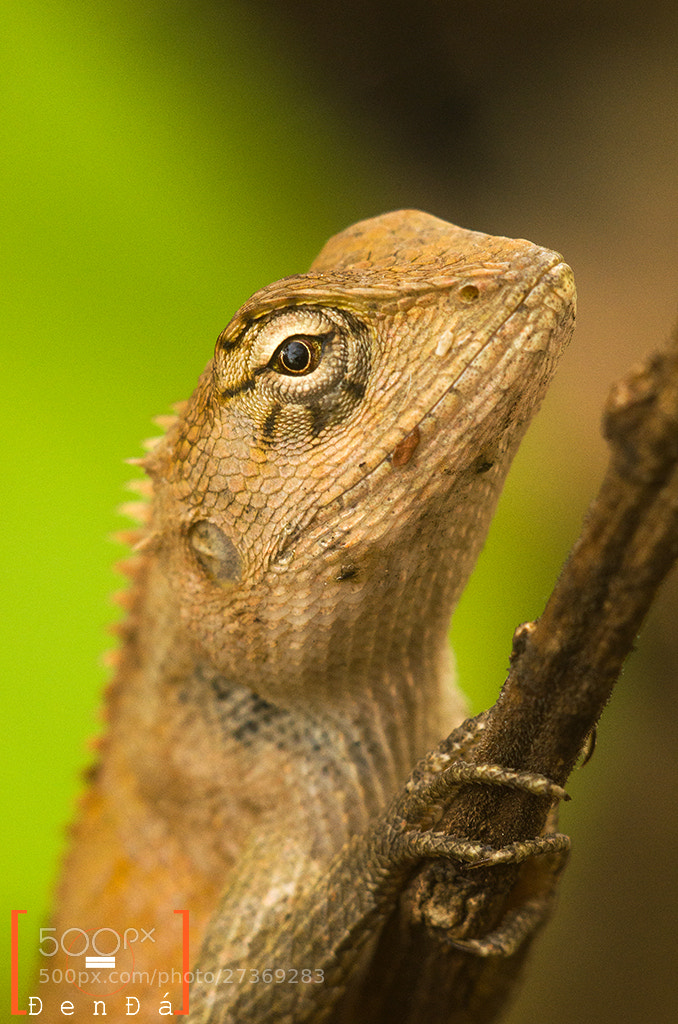 Photograph Slient Gecko Gecko by Đen Đá on 500px