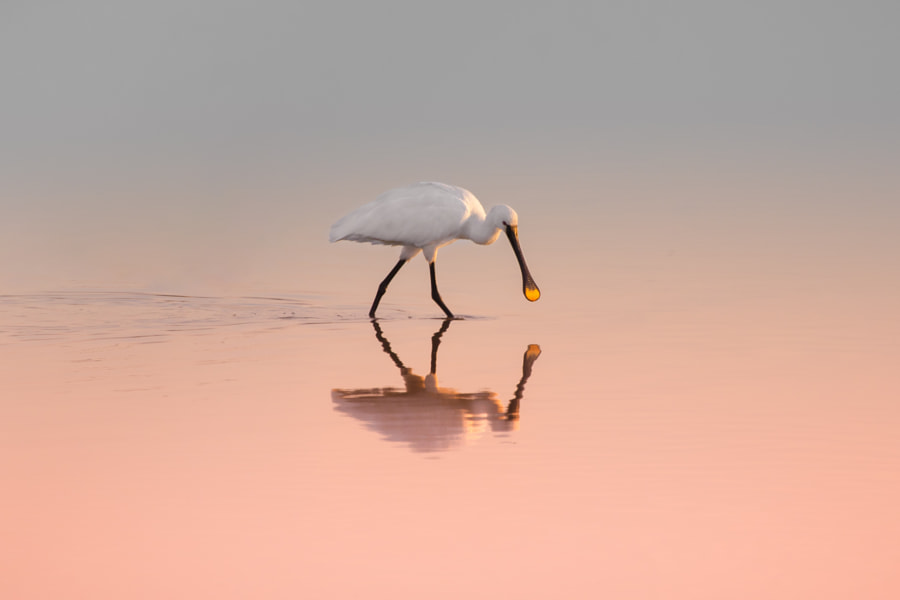 Spoonbill by Natalia Rublina on 500px.com