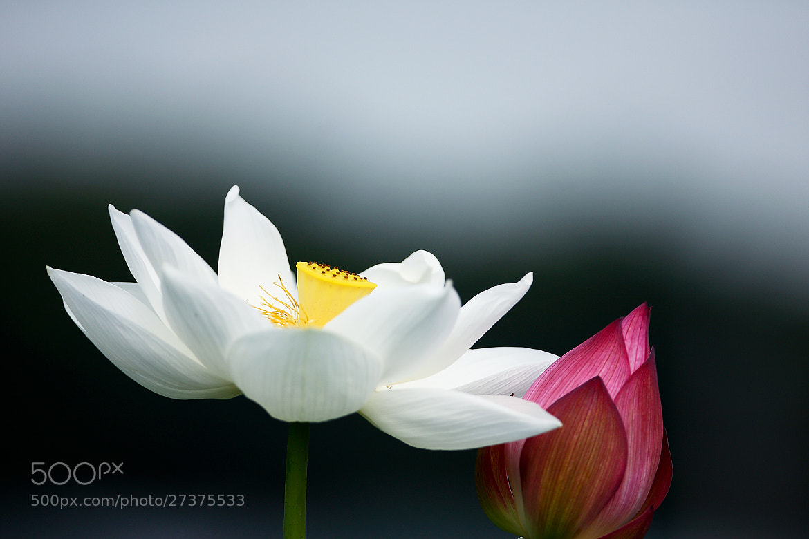 Photograph White & red lotus by LEE INHWAN on 500px