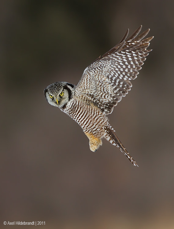 Photograph Northern Hawk Owl by Axel Hildebrandt on 500px