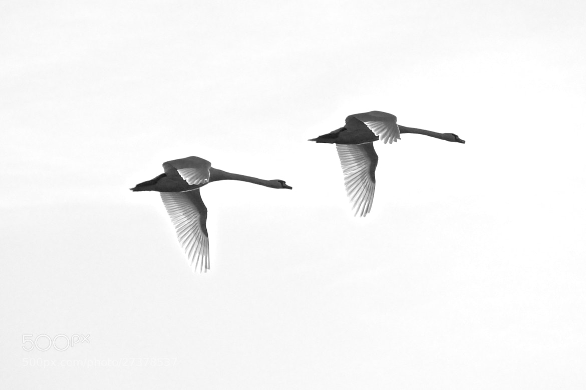 Photograph two swans by Hirn Fusseln on 500px