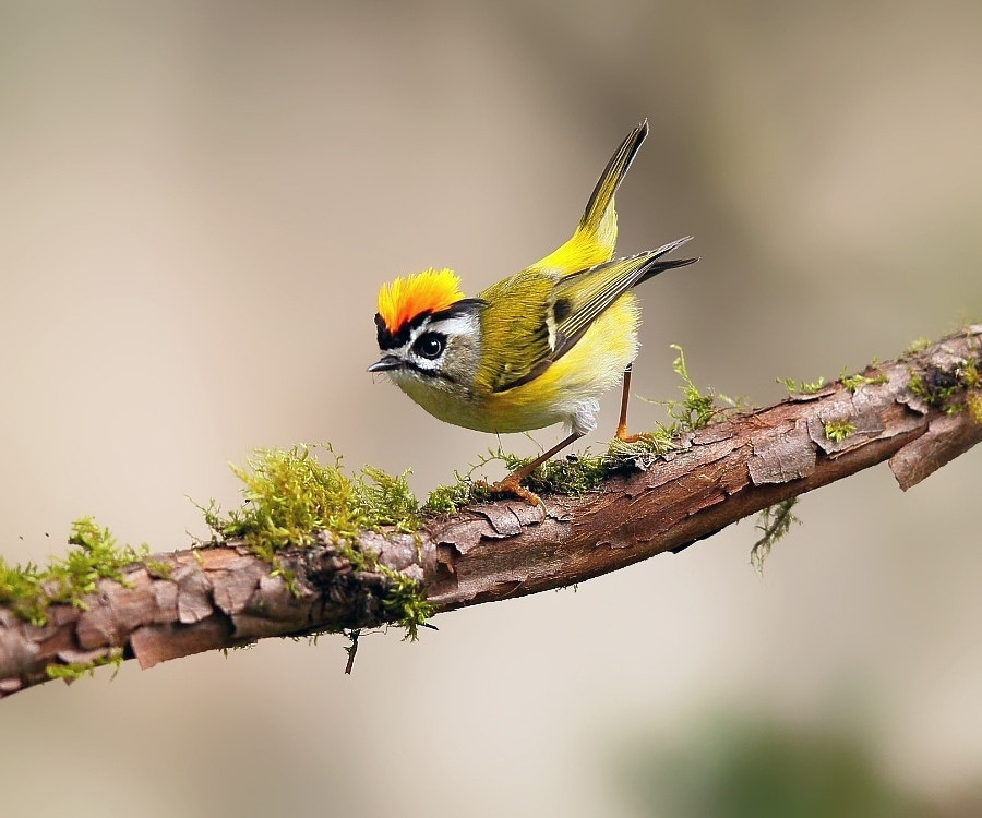 Photograph {Formosan Firecrest} by Dajan Chiou on 500px