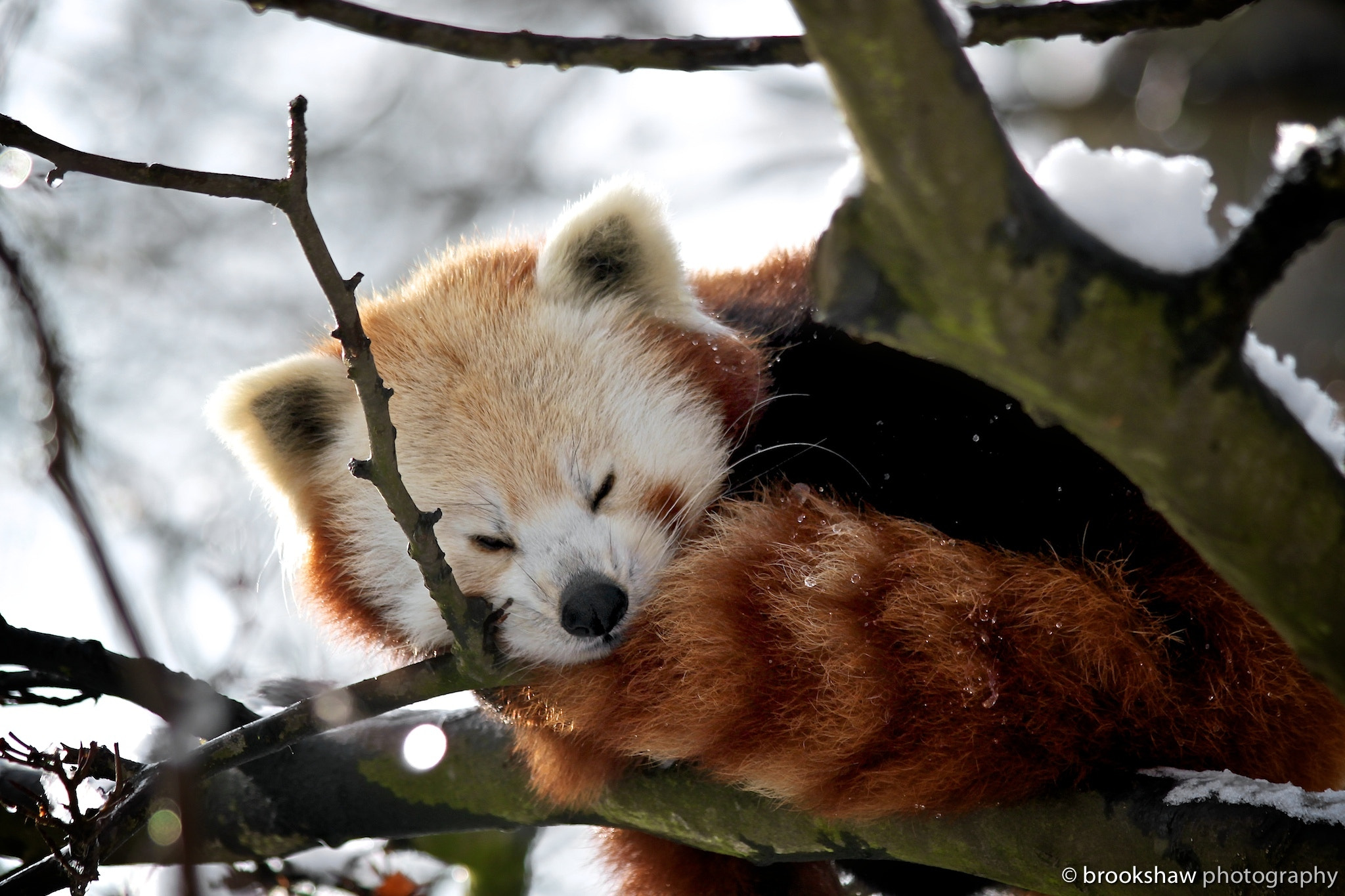 Photograph Winter Red Panda by Gary Brookshaw on 500px