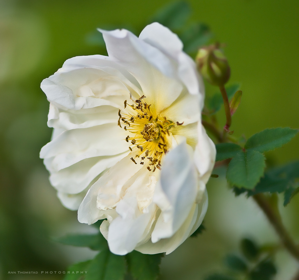 Photograph White Rose by Ann Thomstad on 500px