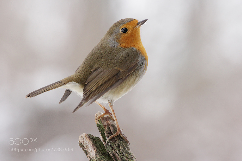 Photograph Snobbish Robin by Julian Rad on 500px