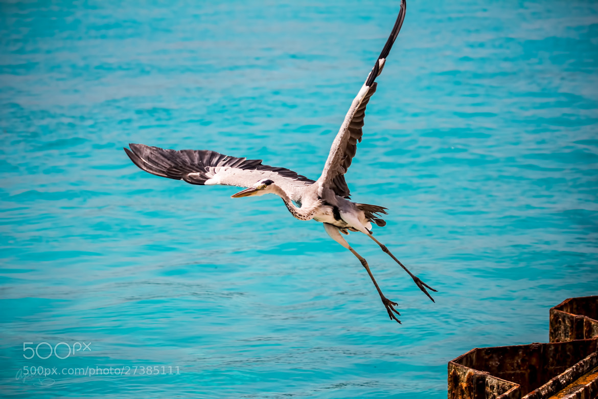 Photograph HERON take off by Ariel Patish on 500px
