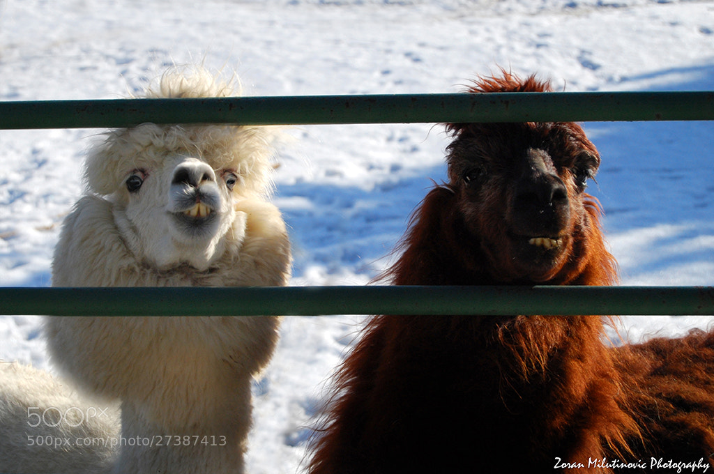 Photograph Funny Llamas by Zoran Milutinovic on 500px