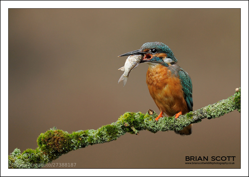 Photograph Eurasian Kingfisher by Brian Scott on 500px