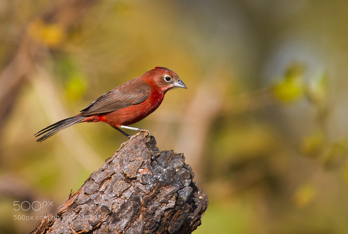 Photograph Red-crested Finch (Lanio cucullatus) by Bertrando Campos on 500px