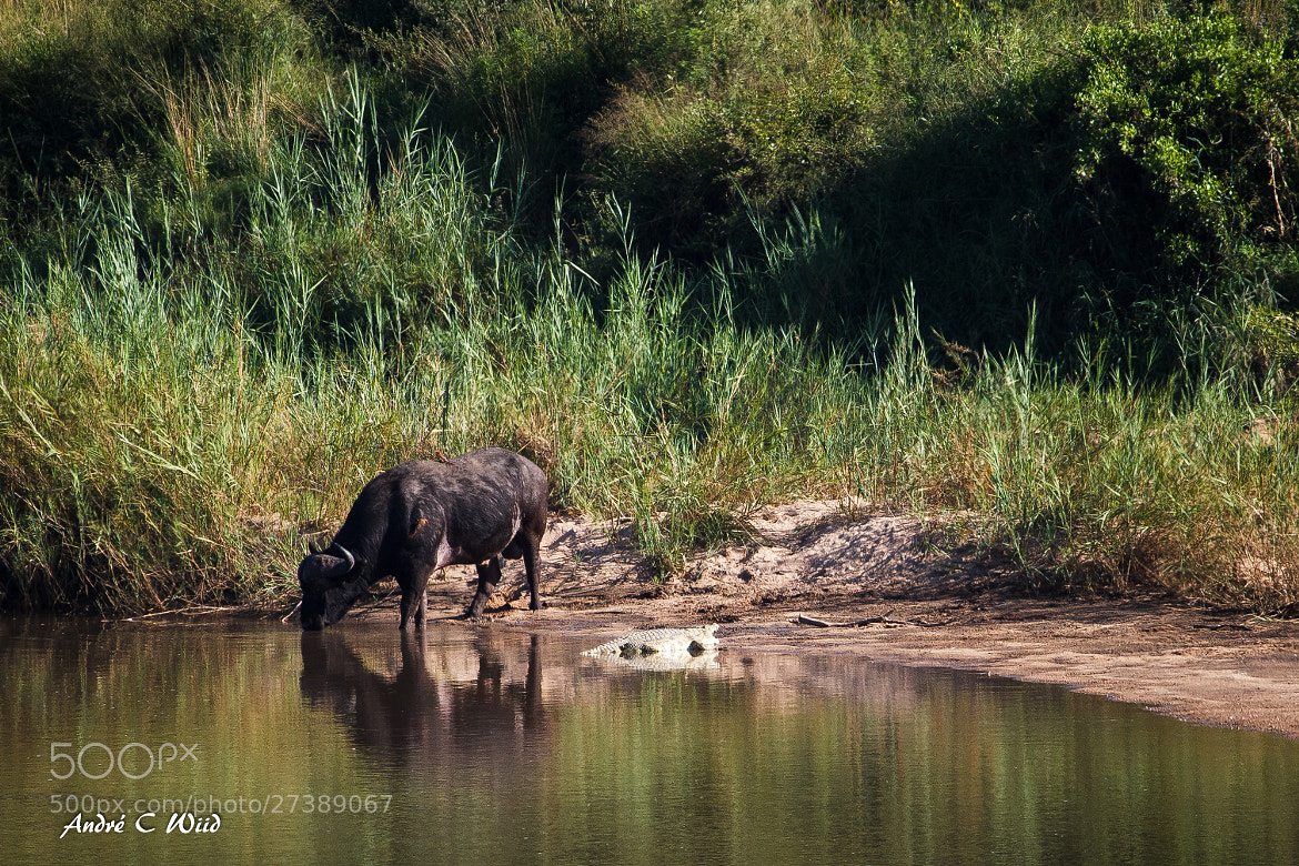 Photograph Buffalo having a drink by Andre Wiid on 500px
