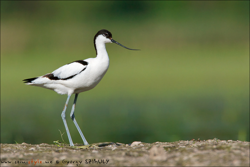 Photograph Pied Avocet (Recurvirostra avosetta) by Gyorgy Szimuly on 500px
