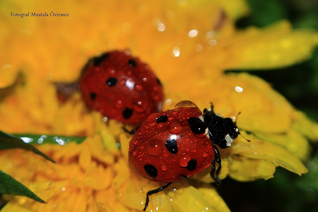 Photograph Ladybug by Mustafa Öztemiz on 500px