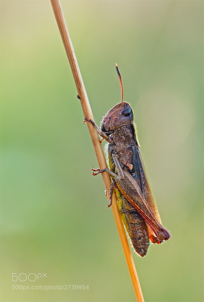 Photograph Grasshopper by Hardi Braun on 500px