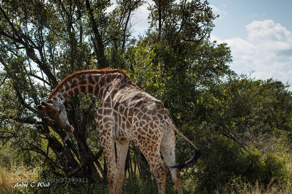 Photograph Giraffe by Andre Wiid on 500px