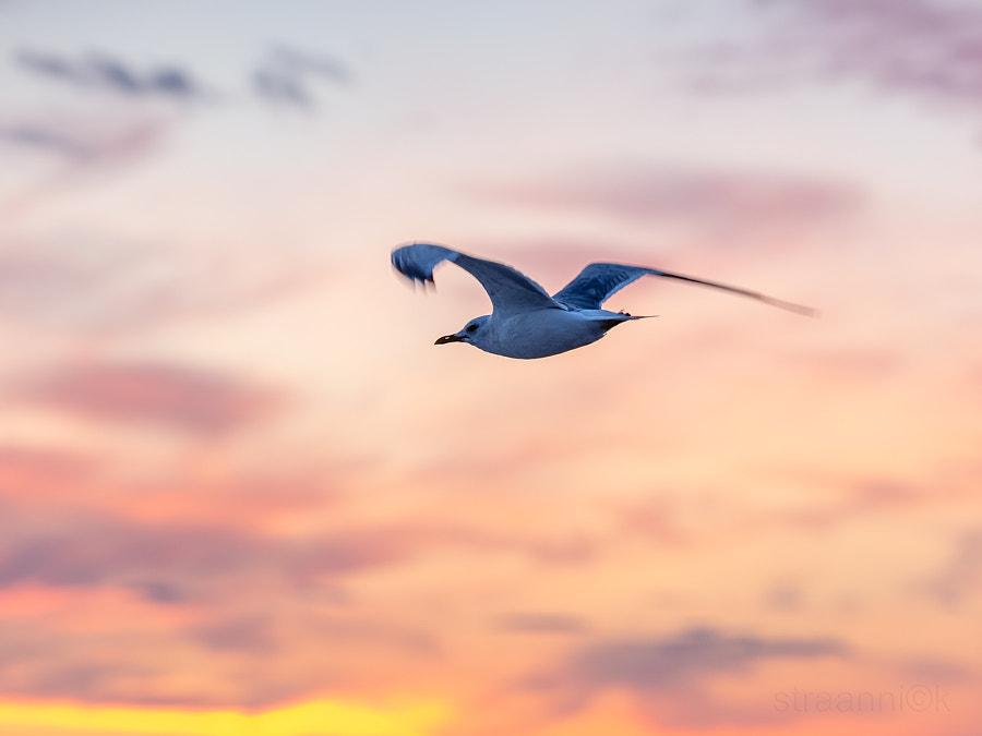 Чайки Белого моря. Tandem - pair of seagulls flies on the horizon above the sea, White Sea, Russia