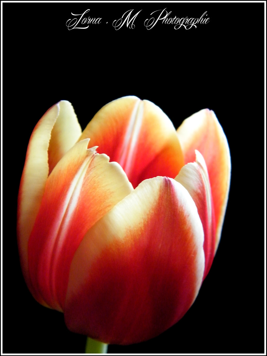 Photograph Tulipe by Lorna Mantelet on 500px
