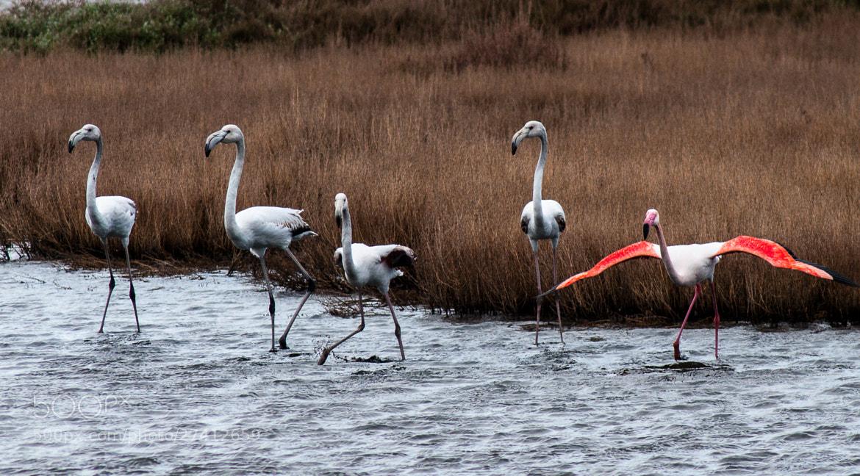 Photograph Flamingos by Antonello Madau on 500px