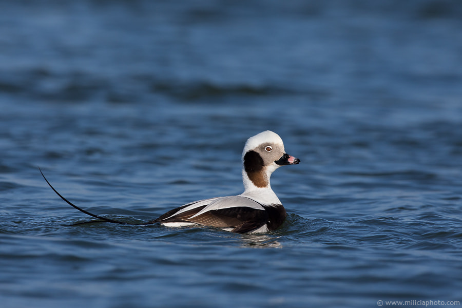 Photograph Long-tailed Duck : Barnegat Light, NJ by Michael Milicia on 500px