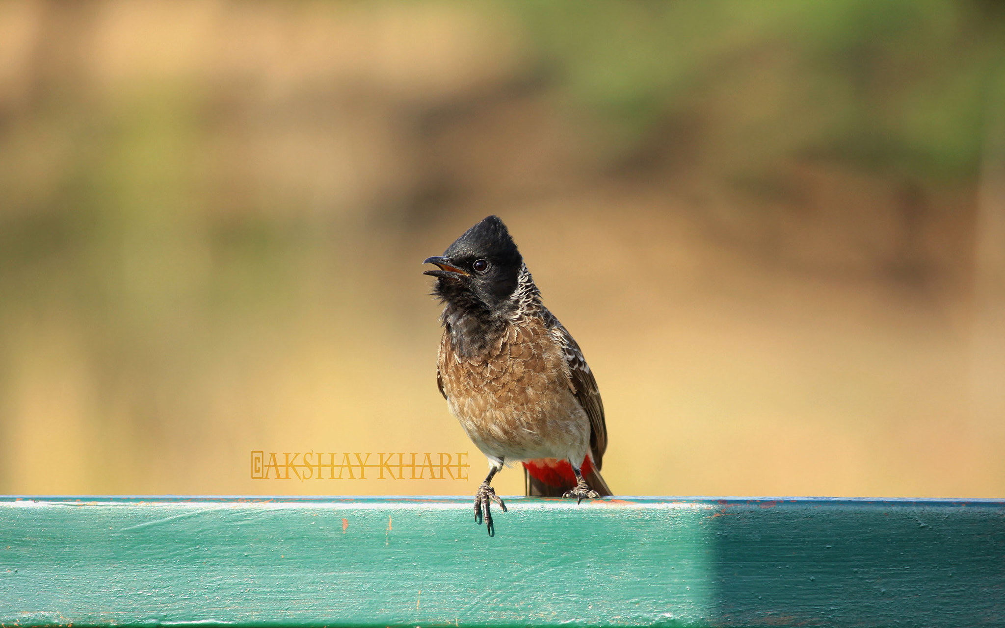 Photograph Red-vented Bulbul  by Akshay Khare on 500px