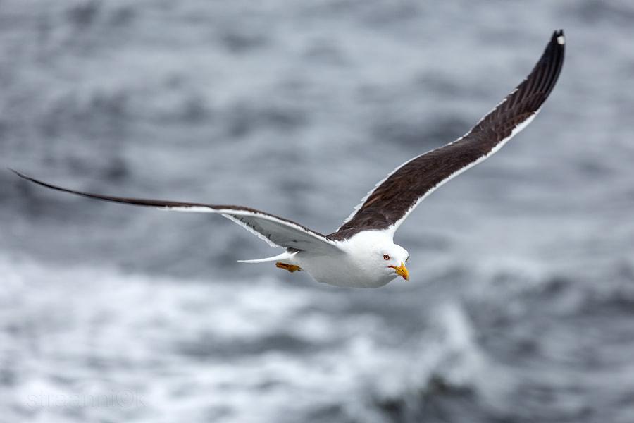 Чайки Белого моря. Lonely seagull against the sea in nasty weather, White Sea, Russia