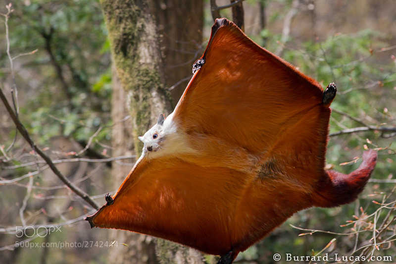 Photograph Giant Flying Squirrel by Will Burrard-Lucas on 500px