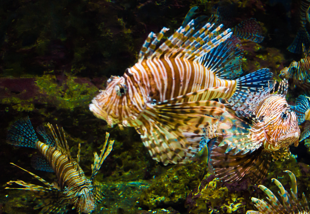 Photograph Lionfish by Tim Evans on 500px
