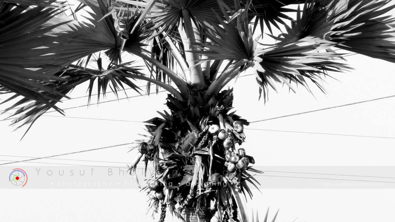 Photograph The Palm Tree by Yousuf Bhuiyan on 500px
