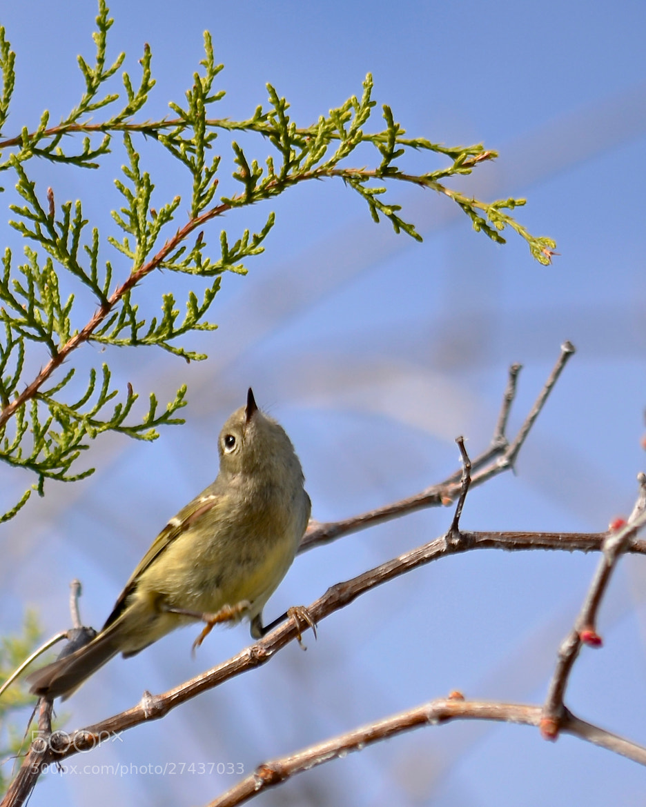 Photograph The Kinglet Hop by Steven Bach on 500px