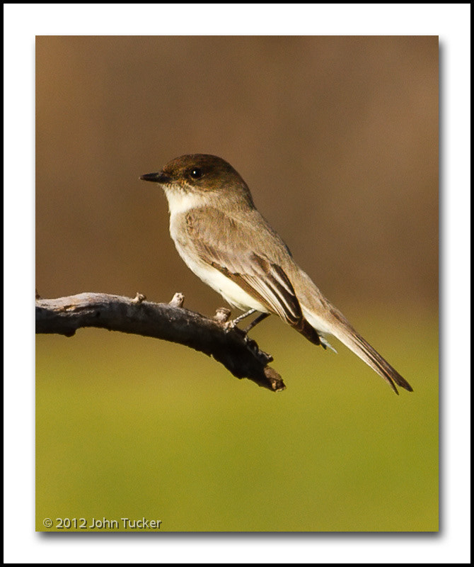 Photograph Eastern Phoebe by John Tucker on 500px