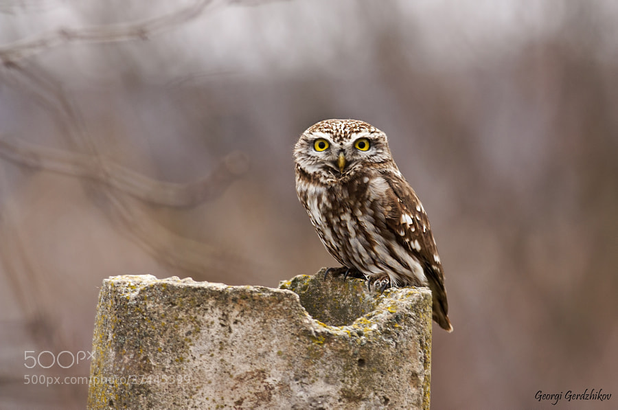 Photograph Little Owl (Athene noctua) by Georgi Gerdzhikov on 500px
