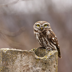 Little Owl (Athene noctua) by Georgi Gerdzhikov (georgigerdjikov)) on 500px.com