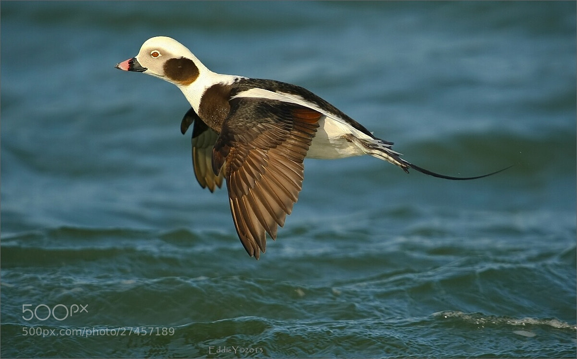 Photograph Long-tailed Duck Landing by Eddie Yu on 500px