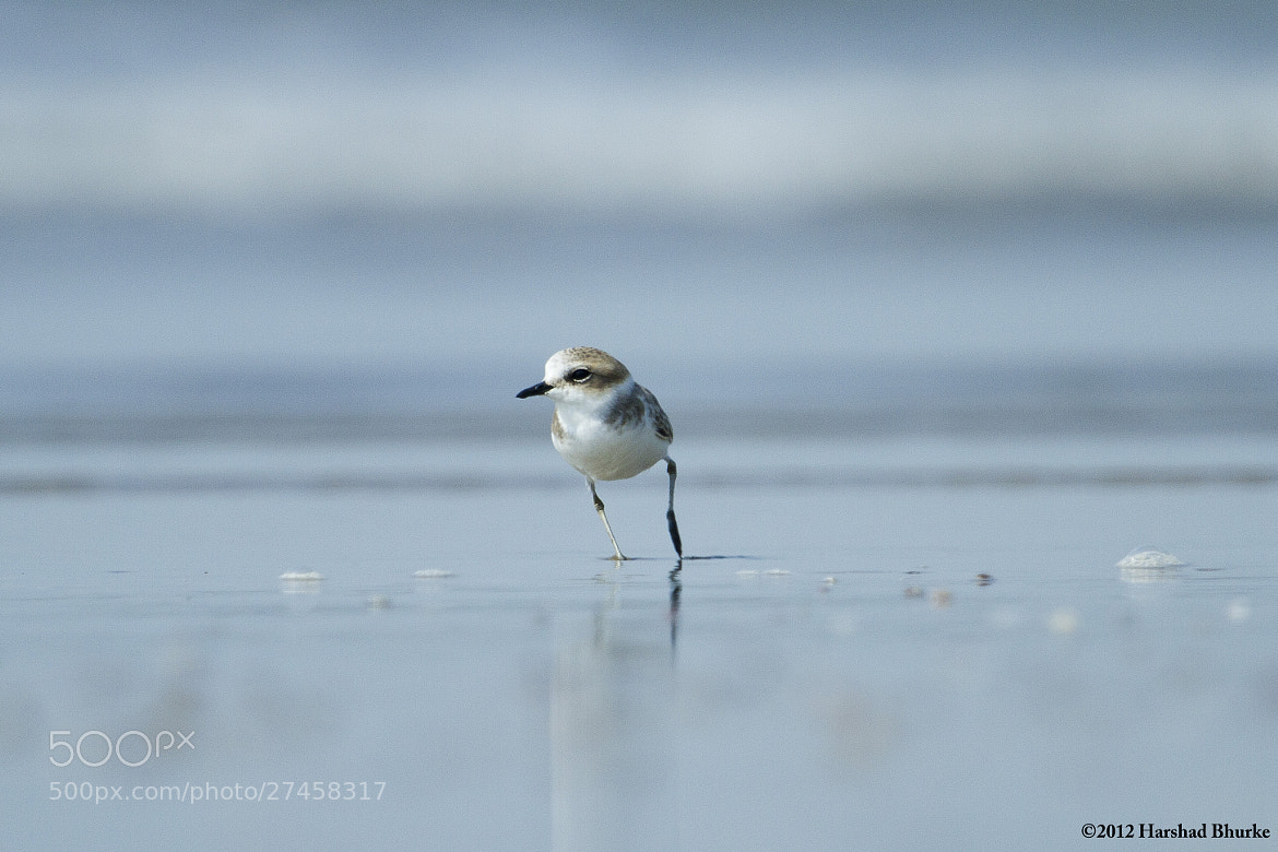 Photograph Kentish Plover on Run! by Harshad  Bhurke on 500px